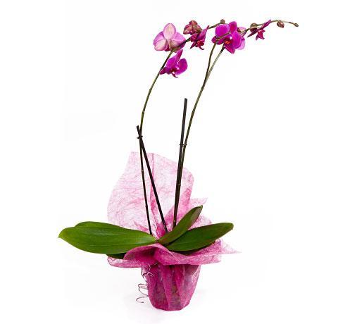 Orquídea preparada  PHALAENOPSIS