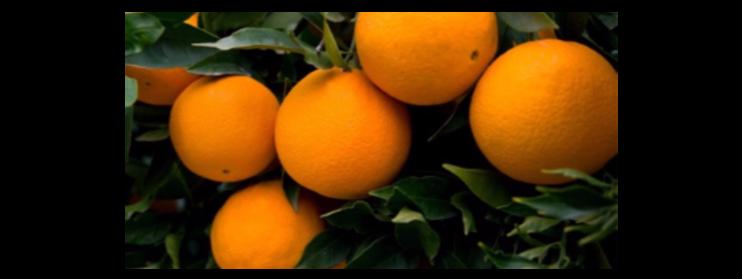 Naranjo dulce, propiedades y beneficios