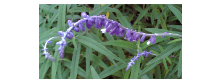 Propiedades de la Salvia