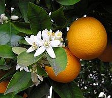 flor de naranjo hierba medicinal