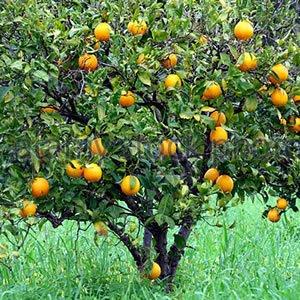 naranjo dulce planta medicinal