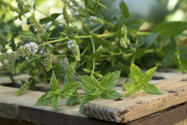 Planta medicinal menta piperita