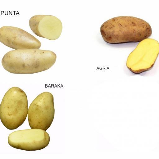 Patata de Siembra Certificada BARAKA Y/O AGRIA: Calibre 35/55. Saco 10 Kg. Sdad. Coop. Rio Mon. Burgos [1]