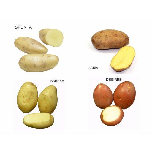 Patata de Siembra Pregerminada Variedades SPUNTA, AGRIA, BARAKA Y DESIREE. Bandeja 100 Tubérculos. Rocalba [1]