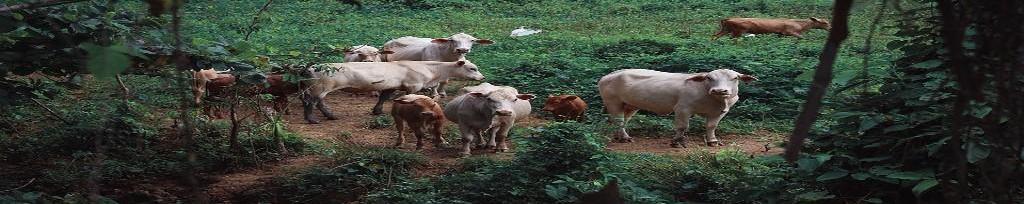 Piensos para crecimiento de terneros en Cantabria