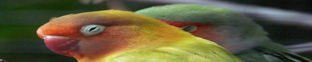 Piensos para agapornis, cotorras, ninfas y otras aves de compañía similares