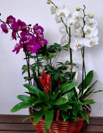Cesta plantas orquídeas