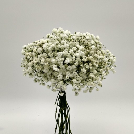 Bouquet de paniculata natural fresca