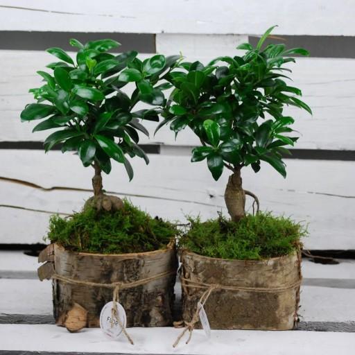 Ficus Ginseng sobre láminas de madera de abedul [1]