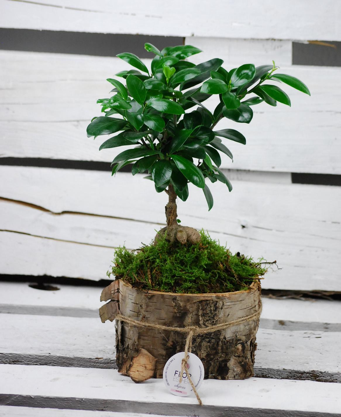 Ficus Ginseng sobre láminas de madera de abedul