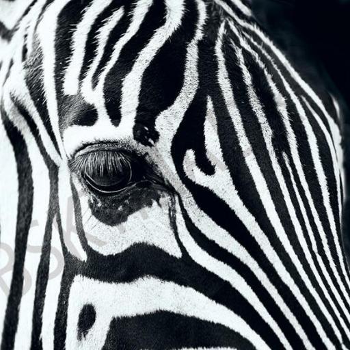 Cuadro en lienzo tamaño grande XXL cebra blanco y negro