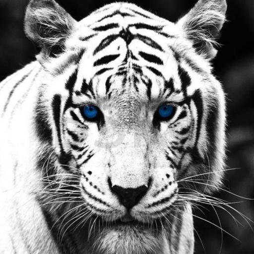 Cuadro en lienzo fotografía tigre blanco y negro tamaño grande