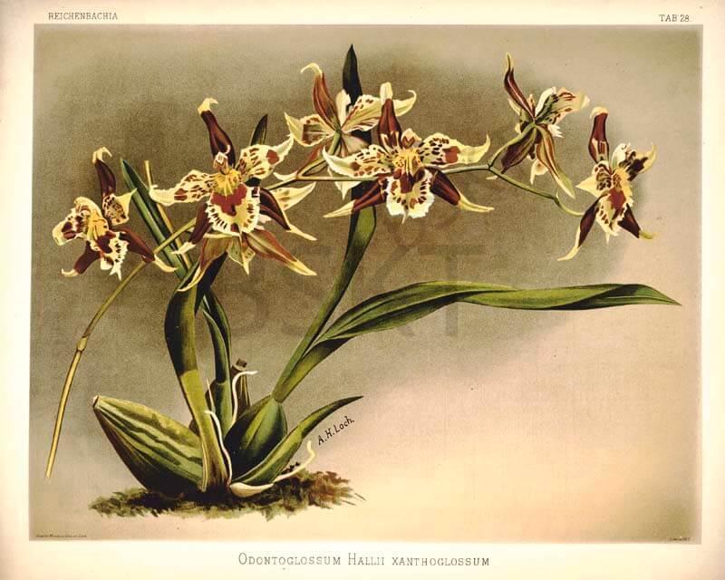 Cuadro en lienzo plantas floreciendo vintage lámina