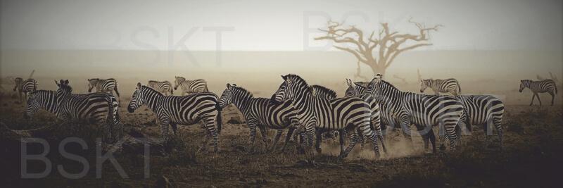 Cuadro en lienzo alargado cebras