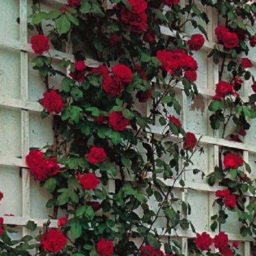Rosal Trepador Paul's Scarlet (Rojo) [1]