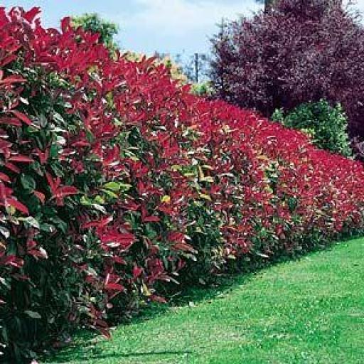 Photinia x Fraseri Litte Red Robin [2]