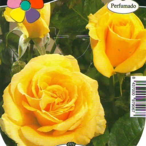 Rosal Wonderful (amarillo)