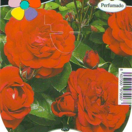 Rosal Capricia (rojo) [0]