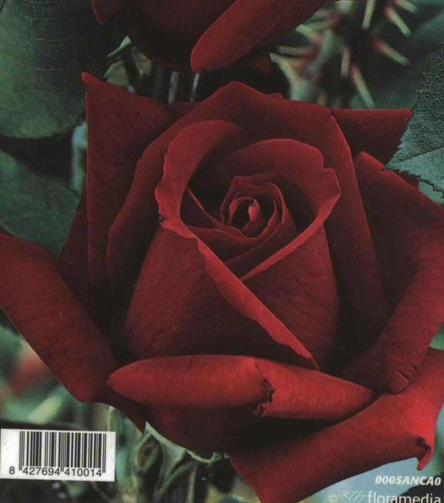 Rosal Grandiflora Perla Negra (rojo terciopelo)