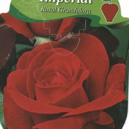 Rosal Grandiflora Chrysler Imperial (rojo)