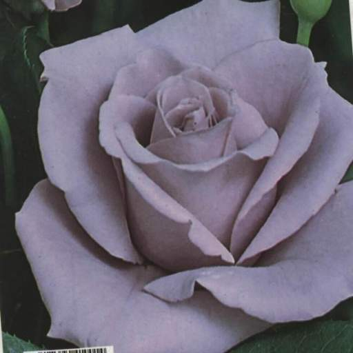 Rosal Grandiflora Lady x (lila)