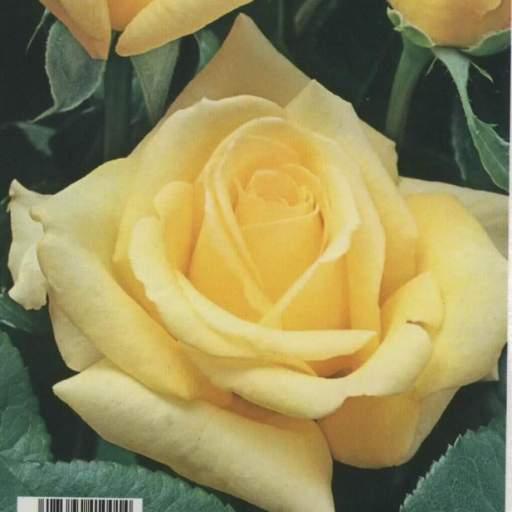 Rosal Grandiflora Landora (amarillo)
