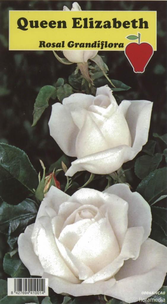 Rosal Grandiflora Queen Elizabeth (blanco)
