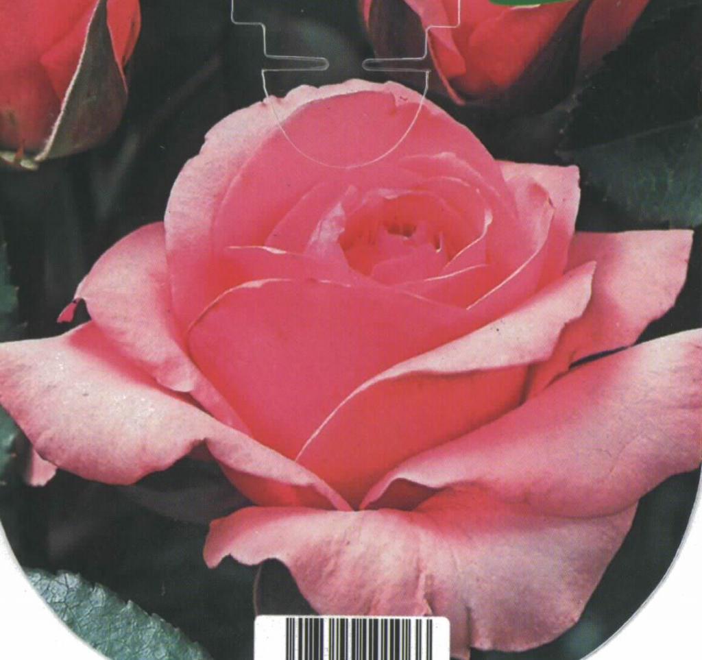 Rosal Grandiflora Queen Elizabeth (rosa)