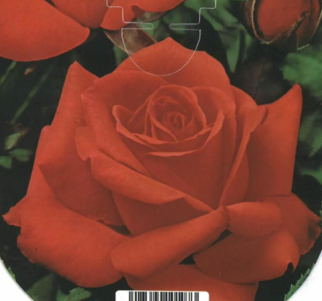 Rosal Grandiflora Romántica (naranja)
