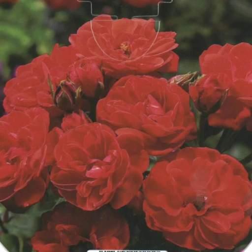 Rosal Miniatura Little Buccaro