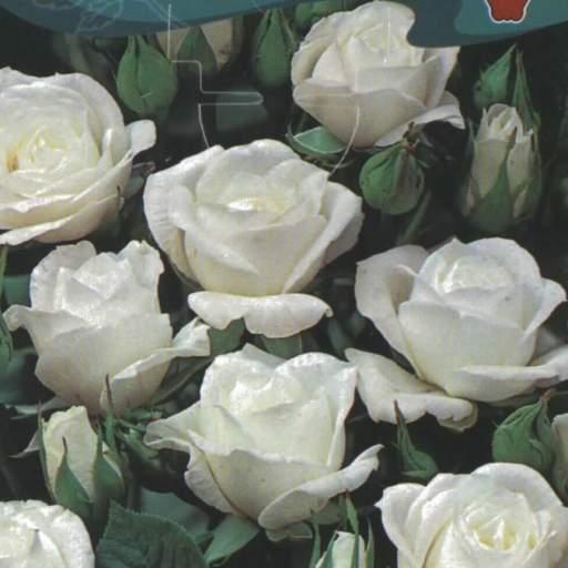 Rosal Miniatura Leticia