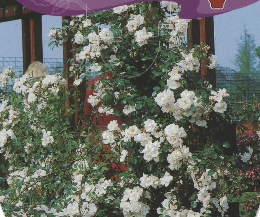 Rosal Trepador Camelia (blanco)