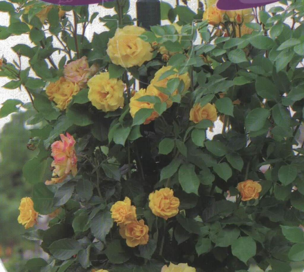 Rosal Trepador Landora (amarillo)