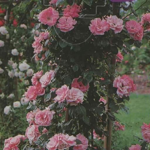 Rosal Trepador Queen Elizabeth (rosa)