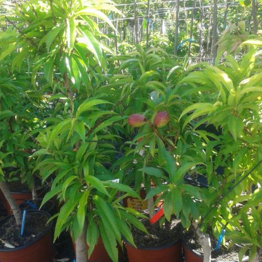 Frutal Enano Nectarina  [1]