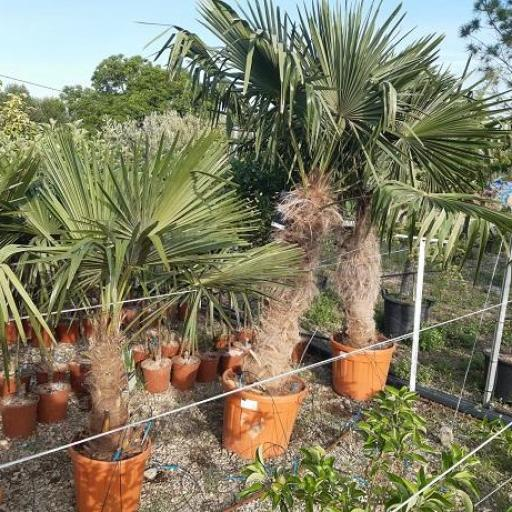 Palmera Trachycarpus Fortunei [2]