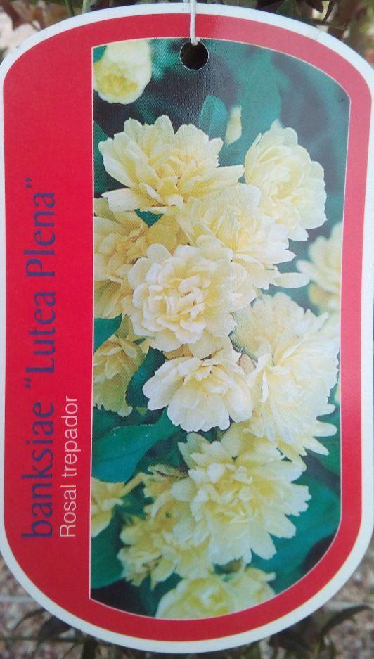 Rosal SIN ESPINAS Banksiae Lutea Plena (Amarillo)