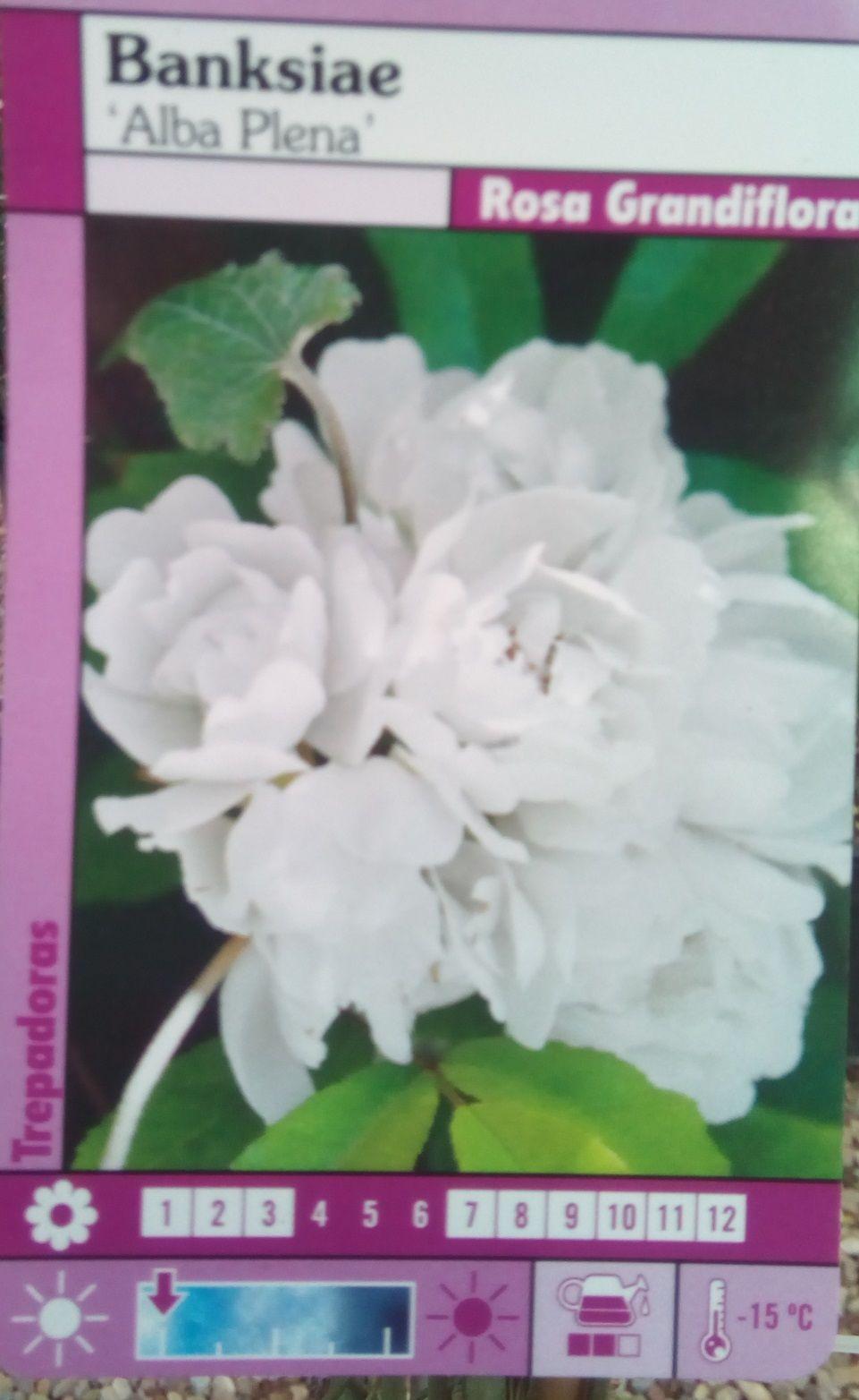 Rosal SIN ESPINAS Banksiae Alba Plena (Blanco)