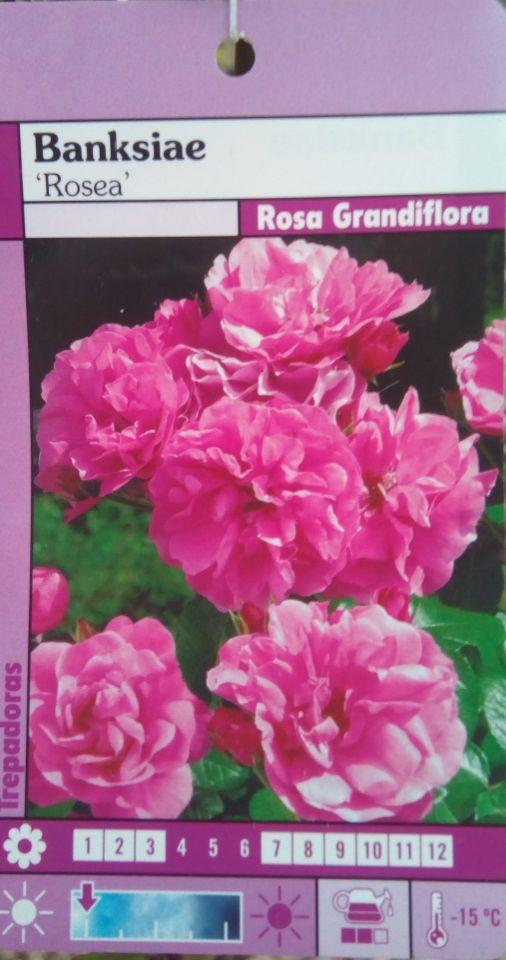 Rosal SIN ESPINAS Banksiae Rosea (Rosa)