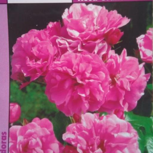 Rosal SIN ESPINAS Banksiae Rosea (Rosa) [0]