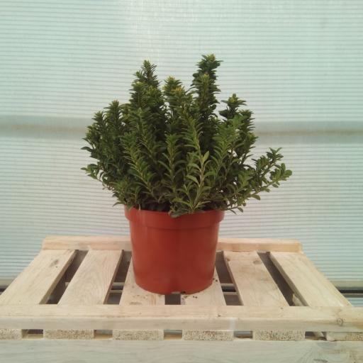 Euonymus Pulchellus Verde [1]