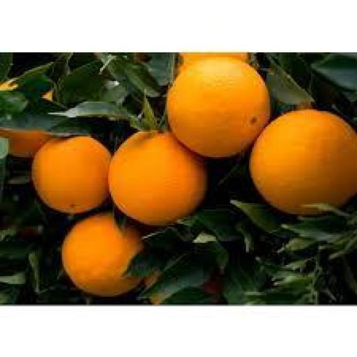 Naranjo (Preguntar Variedad)