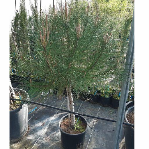 Pino Piñonero (Pinus Pinea)