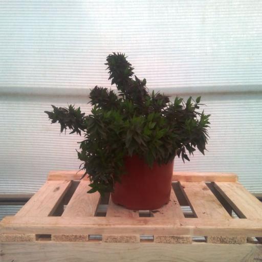Abelia Grandiflora Prostrata [1]