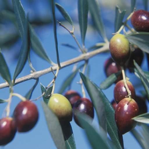 Olivo Arbequina [1]