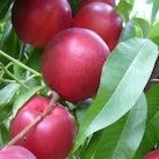 Nectarina Redix®29