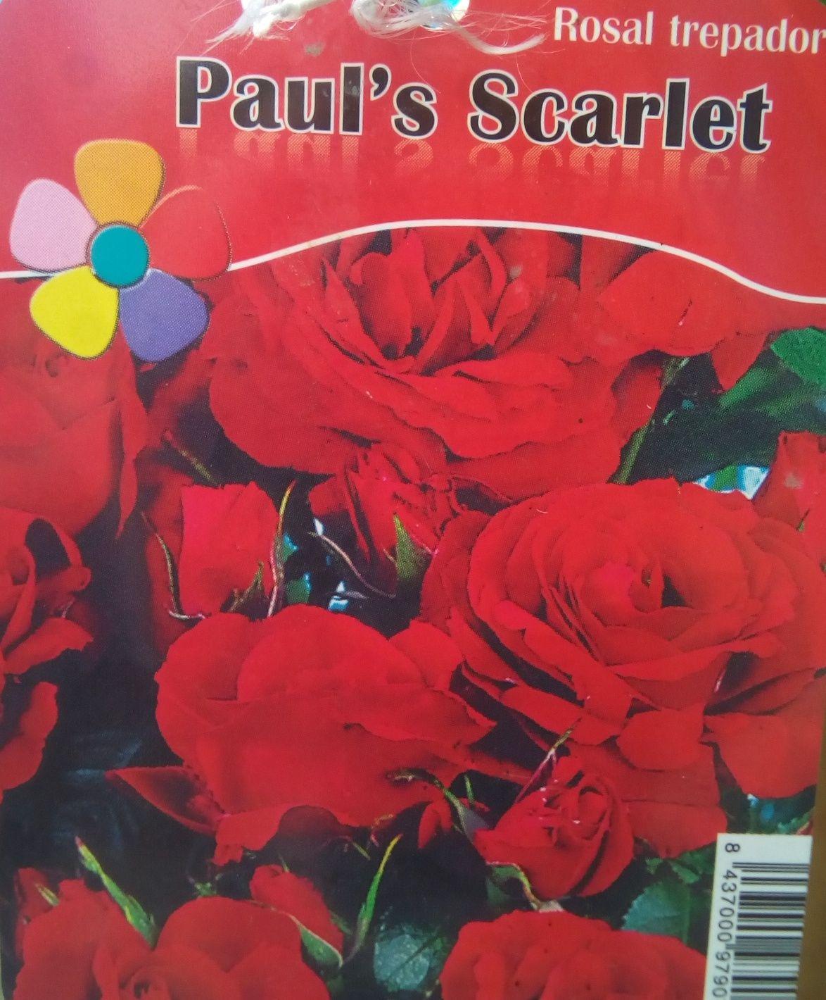 Rosal Trepador Paul's Scarlet (Rojo)