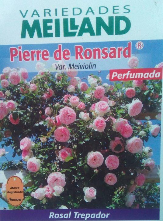 Rosal Trepador Pierre de Ronsard (Bicolor)