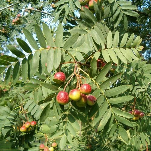 Sorbus Doméstica (Azarollo, Acerollas)