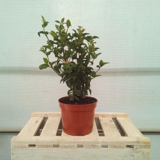 Viburnum Tinus-Durillo [1]